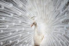 Peafowl branco Fotografia de Stock