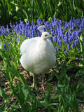 Peafowl branco no prado da mola foto de stock