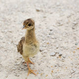 Peafowl chick Stock Photos