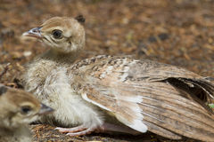Peafowl Chick Royalty Free Stock Photos