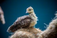 Peafowl Stock Photos