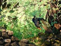 Peafowl Chujący w lesie Zdjęcie Stock