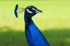 Peafowl. Colorful Peafowl from Styria,Austria Royalty Free Stock Image
