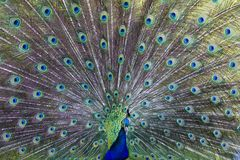 Peafowl commun photographie stock libre de droits