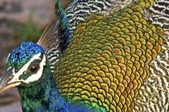 Peafowl d'Inde Photographie stock libre de droits