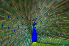 Peafowl dance. Peafowl dancing in the park in Valladolid Spain stock photo