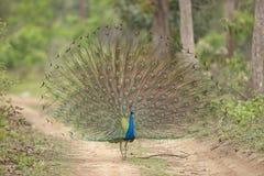 Peafowl dancing Stock Photo