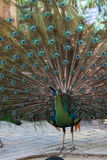 Peafowl de paon avec ses plumes de queue Image stock