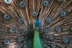 Peafowl de paon avec ses plumes de queue Photo stock