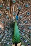 Peafowl de paon avec ses plumes de queue Photographie stock libre de droits