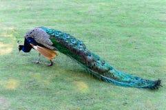 Peafowl del indio de Cristatus del Pavo fotografía de archivo