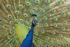 Peafowl dell'indiano del pavone Immagini Stock