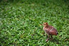 Peafowl, der heraus das geöffnete untersucht Stockfoto