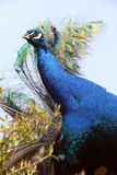 Peafowl Stock Photos