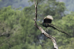Peafowl die aan stomp vliegen Stock Afbeelding