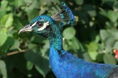 Peafowl do pavão Fotografia de Stock