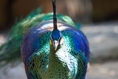 Peafowl do pavão com suas penas de cauda Imagens de Stock