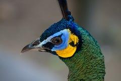 Peafowl do pavão com suas penas de cauda Fotografia de Stock