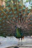 Peafowl do pavão com suas penas de cauda Imagem de Stock