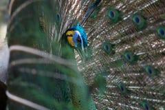 Peafowl do pavão com suas penas de cauda Foto de Stock