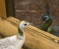 Peafowl dos ooking en uno a través de la cerca de alambre Imágenes de archivo libres de regalías