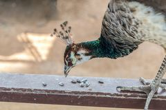 Peafowl are eating sunflower seeds royalty free stock image