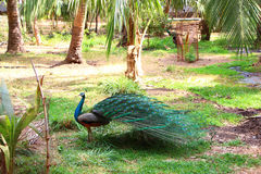 Peafowl en naturaleza Foto de archivo