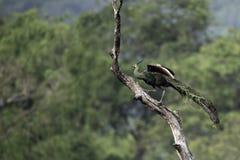Peafowl en paseo de la característica que empana en tocón Fotografía de archivo libre de regalías