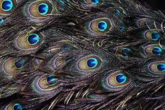 Peafowl Feather Background Stock Image