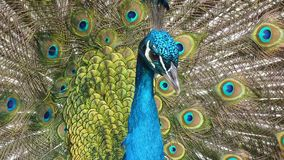 Peafowl, Feather, Fauna, Galliformes Stock Images