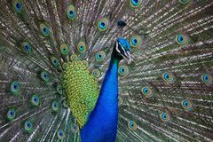 Peafowl, Feather, Galliformes, Close Up Royalty Free Stock Image