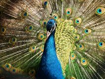 Peafowl, Feather, Galliformes, Fauna Royalty Free Stock Photography