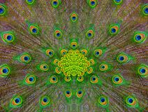 Peafowl feather pattern. Abstract background: peafowl feather pattern Royalty Free Stock Images