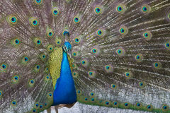 Peafowl with feathers open Royalty Free Stock Image