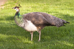 Peafowl Female Peacock Flying Bird Grazing Feeding Wild Animal Stock Photos