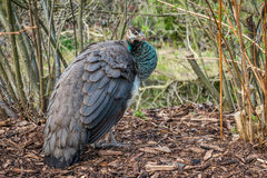 Peafowl femelle Photographie stock