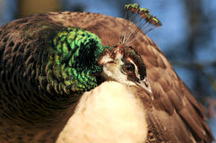 Peafowl Royalty Free Stock Photo