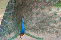 Peafowl het dansen stock afbeelding