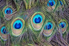 Peafowl or peacock bird. Peafowl include three species of birds in the genera Pavo and Afropavo of the Phasianidae family, the pheasants and their allies Royalty Free Stock Images