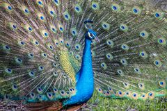 Peafowl or peacock bird. Peafowl include three species of birds in the genera Pavo and Afropavo of the Phasianidae family, the pheasants and their allies Royalty Free Stock Photo