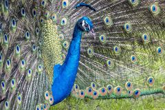 Peafowl or peacock bird. Peafowl include three species of birds in the genera Pavo and Afropavo of the Phasianidae family, the pheasants and their allies Royalty Free Stock Image