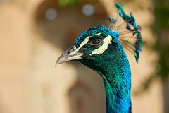 Peacock`s Head. The peafowl include three species of birds in the genera Pavo and Afropavo of the Phasianidae family, the pheasants and their allies Stock Photography