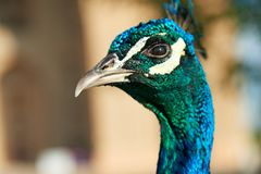 Peacock`s Head. The peafowl include three species of birds in the genera Pavo and Afropavo of the Phasianidae family, the pheasants and their allies Stock Image