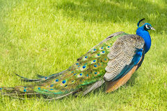 Peafowl Stock Images