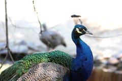 Peafowl indiano Fotografia Stock