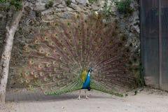 Peafowl indiano Foto de Stock