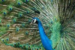 Peafowl indiano bonito Imagens de Stock Royalty Free