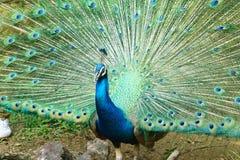 Peafowl indiano bonito Foto de Stock Royalty Free