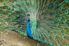 Peafowl indiano bonito Imagem de Stock Royalty Free
