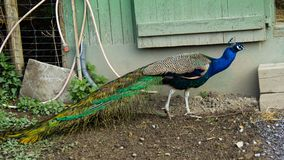 Peafowl indiano, cristatus do Pavo, pavão, Foto de Stock